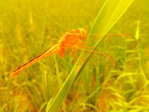 Beautiful nature. Golden dragonfly perched on grass in nature Stock Photography