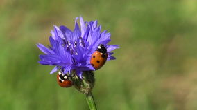 Beautiful insect ladybird ladybugs on cornflower blossom stock video footage