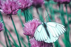 A beautiful insect on a pink flower. Butterfly with white wings on which are black stripes. Closeup stock photos