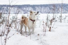 Beautiful intelligent dog Japanese Akita Inu is in a snow-covered field with closed eyes and sniffs air on a mountain background. A beautiful intelligent dog Stock Photo