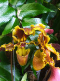 Beautiful intense orchid flower royalty free stock photo
