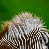 Beautiful vibrant intimate close up portrait of Chapman`s Zebra. Beautiful intimate close up detail of Chapman`s Zebra Equus Quagga Chapmani mane Royalty Free Stock Images