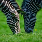 Beautiful vibrant intimate close up portrait of Chapman`s Zebra Stock Images