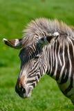 Beautiful vibrant intimate close up portrait of Chapman`s Zebra Stock Photography