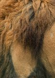 Beautiful intimate portrait image of King of the Jungle Barbary. Stunning intimate portrait image of King of the Jungle Barbary Atlas Lion Panthera Leo Royalty Free Stock Images