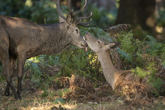 Beautiful intimate tender moment between red deer stag and hind Stock Photos
