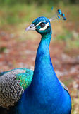 Beautiful iridescent blue peacock Royalty Free Stock Images