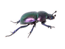 Beautiful iridescent dung beetle isolated on white. Royalty Free Stock Photography