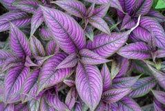 Beautiful iridescent metallic looking Purple Silver and Green Persian Shield stock photos