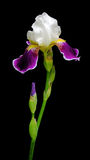 Beautiful Iris on a black background Royalty Free Stock Photos
