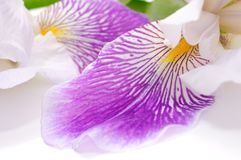 Beautiful Iris Flower Royalty Free Stock Photos