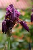 Beautiful  iris flower Royalty Free Stock Photo