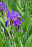 Beautiful iris flower Royalty Free Stock Photography