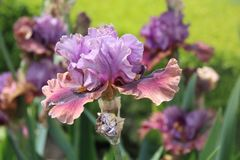 Beautiful Iris flower in a spring bloom, Paris Gardens stock photography