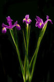 Beautiful Iris flowers Stock Photo