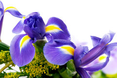 Beautiful iris flowers in bouquet  close-up on white background Royalty Free Stock Photos