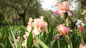 Beautiful iris moving in the wind in a famous Florence garden, Italy. 4K UHD Video footage, static camera. Nikon D500 stock video