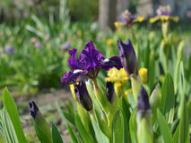 Beautiful iris Stock Photos