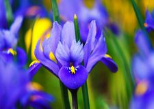 Beautiful iris. Violet Iris flower with blurred background Stock Photography