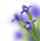 Beautiful irises. Beautiful bouquet of blue irises Stock Photo