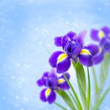Beautiful irises on a blue background and bokeh Royalty Free Stock Photo