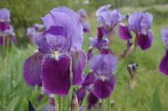 Irises in the spring field stock images