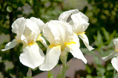 Beautiful irises. Royalty Free Stock Photos