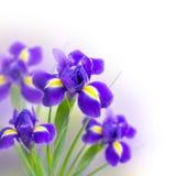 Beautiful irises on a white background Royalty Free Stock Photo