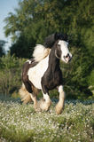 Beautiful irish cob (tinker horse) with long mane walking free i Stock Images