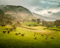 A beautiful irish mountain landscape in spring with sheep. royalty free stock image