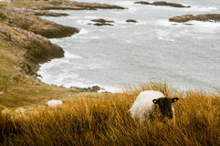 A beautiful irish mountain landscape in spring with sheep. Royalty Free Stock Photography