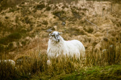A beautiful irish mountain landscape in spring with sheep. Royalty Free Stock Photos