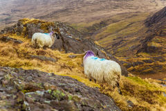 A beautiful irish mountain landscape in spring with sheep. royalty free stock photo