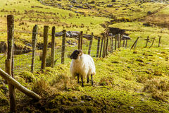 A beautiful irish mountain landscape in spring with sheep. stock photo