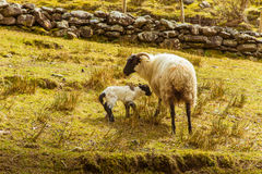 A beautiful irish mountain landscape in spring with sheep. royalty free stock images