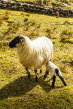 A beautiful irish mountain landscape in spring with sheep. stock photos