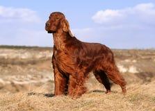 Beautiful Irish Setter. Dog standing Royalty Free Stock Photos