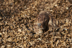 Beautiful Irish Setter looking in the autumn leaves Royalty Free Stock Images