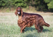 Beautiful Irish Setter looking Royalty Free Stock Photography