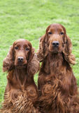 Beautiful Irish Setter pair Royalty Free Stock Image