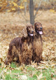 Beautiful Irish Setter pair Stock Images