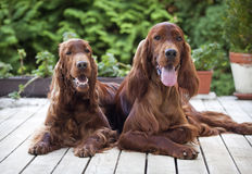 Beautiful Irish Setter pair Royalty Free Stock Photography