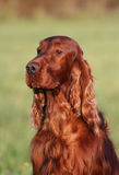 Beautiful Irish Setter portrait Stock Photos