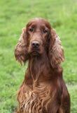 Beautiful Irish Setter portrait Royalty Free Stock Photography