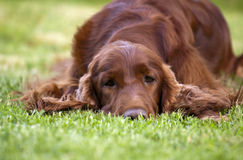 Beautiful Irish Setter Stock Images