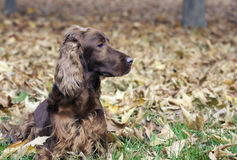 Beautiful Irish Setter Stock Photography