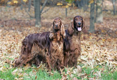 Beautiful Irish Setters Royalty Free Stock Photos