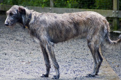 Beautiful Irish Wolfhound. A rare Irish Wolfhound stands eloquently at a dog park on a beautiful sunny day Royalty Free Stock Photo