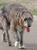 Beautiful irish wolfhound dog. Photo of a beautiful irish wolfhound dog with piercing orange eyes and tongue hanging out, taking a stroll along the beach Royalty Free Stock Images