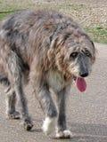 Beautiful irish wolfhound dog Royalty Free Stock Images